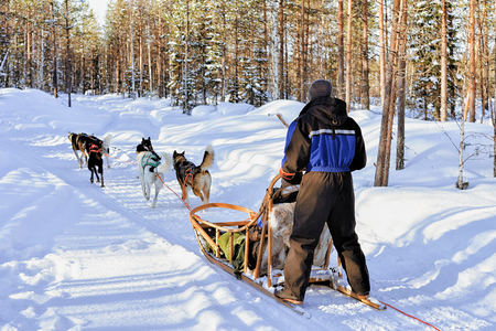 rovaniemi: Man riding husky dogs sledge in winter snowy forest in Rovaniemi, Lapland, Finland Stock Photo