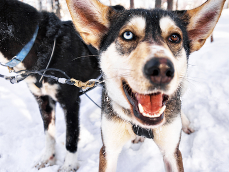 rovaniemi: Husky dogs in sled at Rovaniemi farm, Lapland, Finland Stock Photo