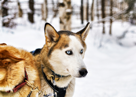 rovaniemi: Husky dog in sled in Rovaniemi, Lapland, Finland