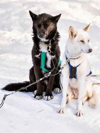 Husky dogs in sledge at Rovaniemi farm, Lapland, Finland Stock Photo