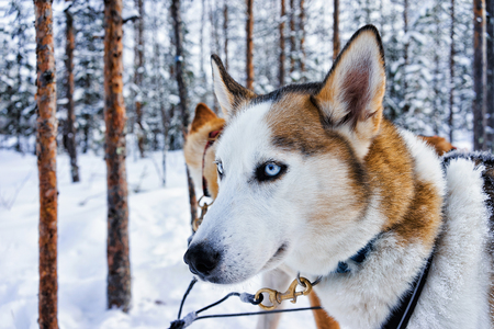 Husky dog in sled in Rovaniemi, Finnish Lapland