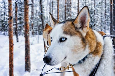 Husky dog in sled in Rovaniemi, Finnish Lapland Zdjęcie Seryjne - 79301889