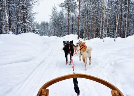 rovaniemi: Husky dogs sledge in Rovaniemi, Lapland in Finland