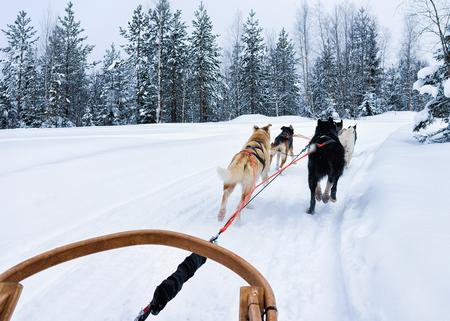 rovaniemi: Husky dogs sledge at Rovaniemi, Lapland in Finland