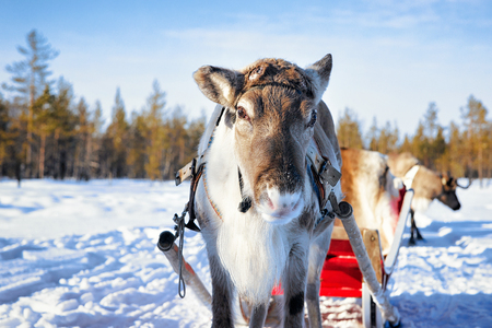 Reindeer with sledding at winter forest in Rovaniemi, Lapland, Northern Finland Stock Photo