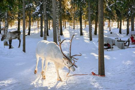 フィンランド北部ラップランド、ロヴァニエミで冬の農場で白トナカイ 写真素材