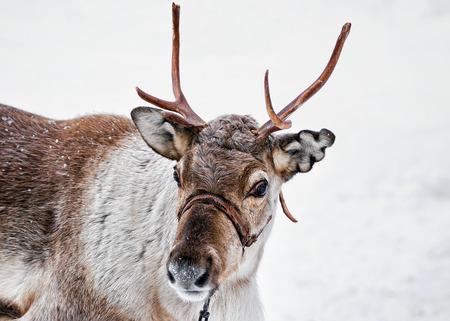 Reindeer on winter farm in Rovaniemi, Lapland, Northern Finland