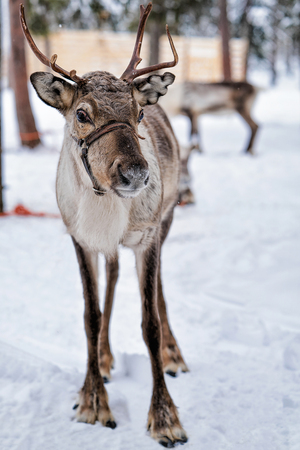 Reindeer in winter farm at Rovaniemi, Lapland, Northern Finland