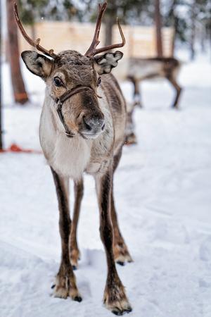 Renna nella fattoria invernale a Rovaniemi, Lapponia, Finlandia settentrionale