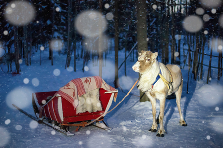 Reindeer and sledge at night safari in the forest of Rovaniemi, Lapland, Northern Finland. With snowfall. Toned