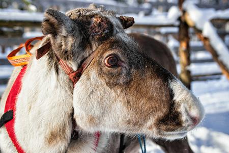 winter finland: Reindeer on winter farm, Rovaniemi, Lapland, Northern Finland Stock Photo