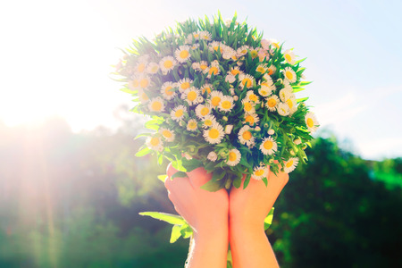 Bunch of field daisy flowers at girls hands.