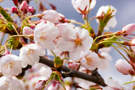Cherry tree or sakura flowers blossom in spring on natural background Stock Photo