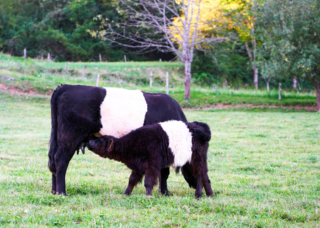 Belted Galloway cow and a calf in a pasture standing and eating grass, Franche Comte, France.