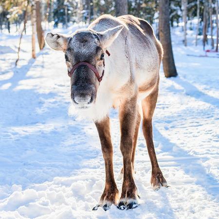 農場の冬ロヴァニエミ、北フィンランドのラップランドでトナカイ