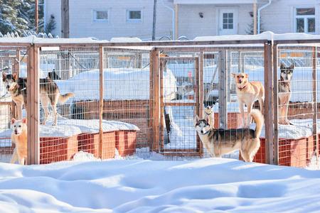 Husky dogs in enclosure in Rovaniemi, Lapland, Finland Stock Photo