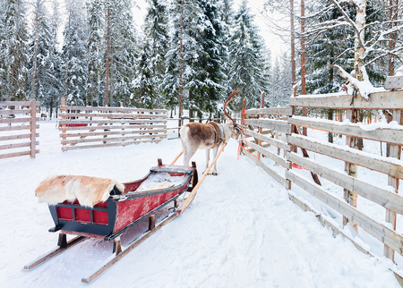Reindeer with sleigh in winter forest in Rovaniemi, Lapland, Finland