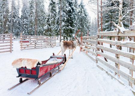 Reindeer with sleigh in winter forest in Rovaniemi, Lapland, Finland