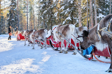 People riding Reindeer sledge caravan in winter forest in Lapland, Rovaniemi, Finland Stok Fotoğraf