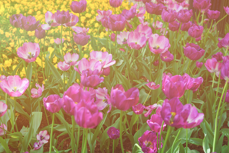 Flowerbed of dark and light colored tulips were photographed in Washington D.C., the USA. Flowers are located in the Floral Library of the Tulip Library in the National Mall. Sunlight toned Stock Photo