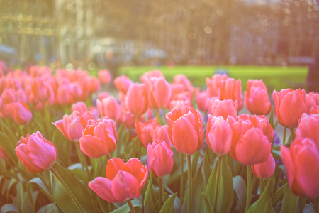 Vibrant pink tulips in bloom in downtown Manhattan, New York City, the USA. Sunlight toned