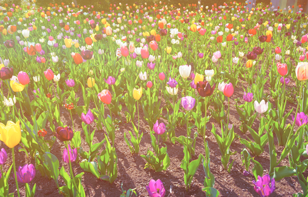 Color Flowered bed with Tulips in Philadelphia City Center, Pennsylvania, the USA. Sunlight toned Stock Photo