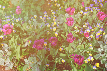 Big flowerbed of tulips and pansies was seen in Washington DC, USA. Even more various species and types of flowers are located in the Floral Library on territory of the National Mall. Sunlight toned