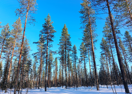 Snow pine forest at winter Lapland, in Northern Finland.