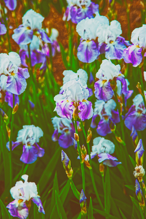 Purple and white Iris in the Kitchen garden in Audley. Toned