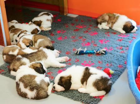 Saint Bernard puppies sleeping in breeding kennel, Martigny, in Switzerland
