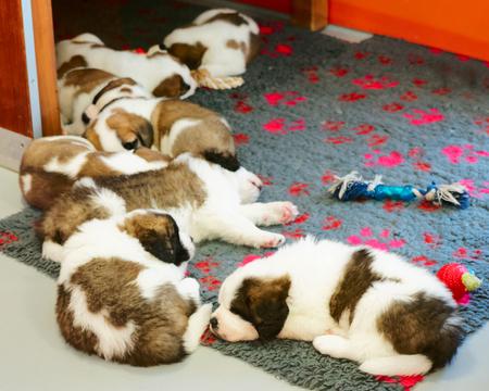 Saint Bernard puppies sleeping at breeding kennel, Martigny, in Switzerland