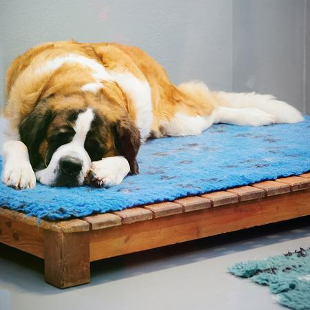 Saint Bernard dog sleeping at breeding kennel in Martigny, at Switzerland