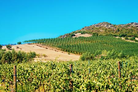 Vineyards in Perdaxius, Carbonia-Iglesias, Sardinia, Italy