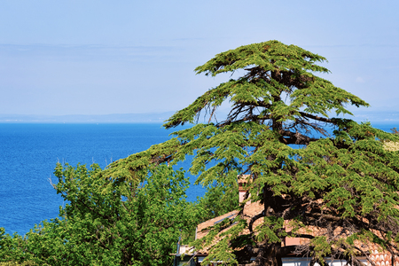Pine tree at Adriatic sea in the Strunjan National Park of Slovenia