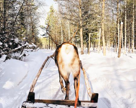 Reindeer sleigh ride in Finland in Lapland in winter.
