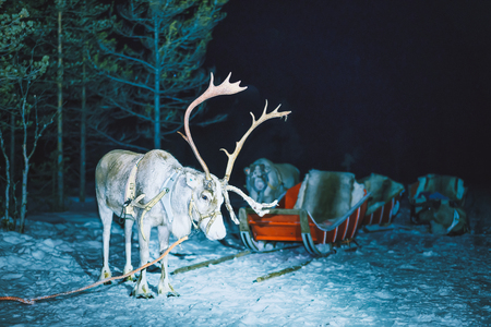 Reindeer at Finland in Lapland in winter at night.