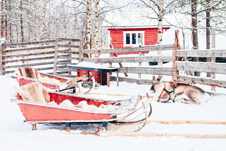 Reindeer with sled in Finland in Lapland in winter.