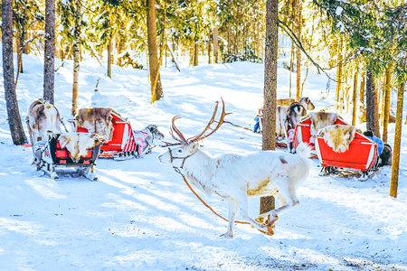 White Reindeer in Finland at Lapland in winter.