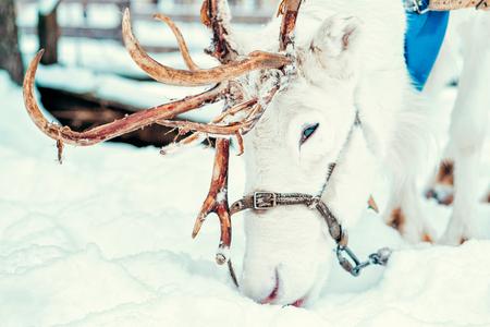 White Reindeer in Finland in Lapland in winter.