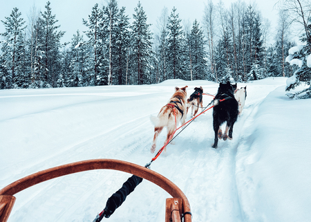 Husky dog sled in Finland in Lapland at winter.