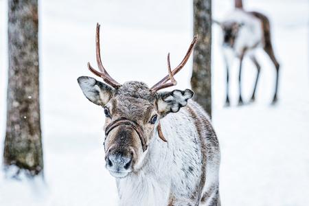 Brown Reindeer in Finland at Lapland in winter.