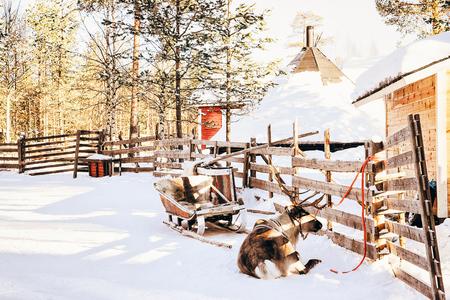 Reindeer in sledding in Finland in Lapland in winter. Stock Photo