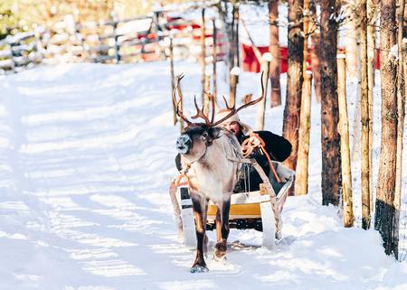 Man riding Reindeer sleigh in Finland in Lapland in winter. Stock Photo