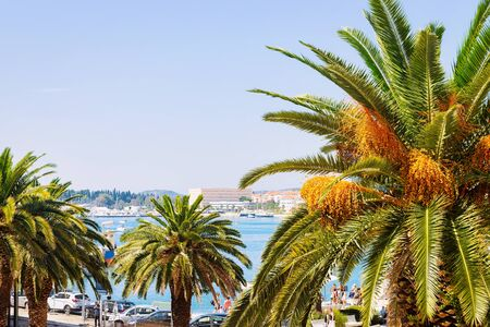 Palm trees at Old city of Split on Adriatic Coast in Dalmatia in Croatia. Diocletian Palace and Roman Town architecture at Croatian Dalmatian Bay. Europe tourism and vacation in summer. Landscape