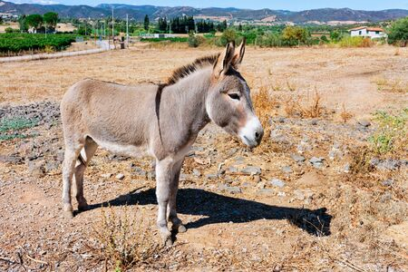 Donkey on the agricultural farm in the province of Carbonia, Sardinia Island, Italy. Rural life in Sardegna in summer.