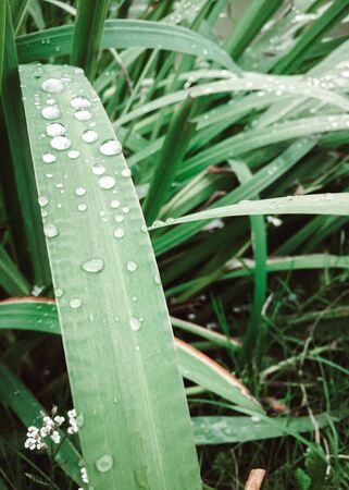 Closeup of dew on green grass. Drops of water on leaves after fresh rain in morning. Droplets and raindrops on wet lawn. Macro close up. Purity of nature. Detail of field or pasture on background. Standard-Bild - 133690895