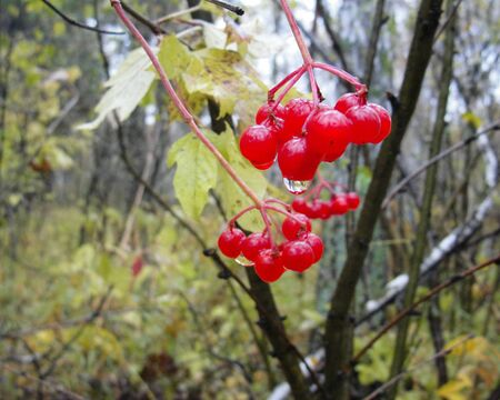 Guelder rose berries in cluster of tree. Bush of red viburnum opulus with drops of water in forest after rain. Bunch on plant in Siberian nature in autumn. Standard-Bild - 133690904