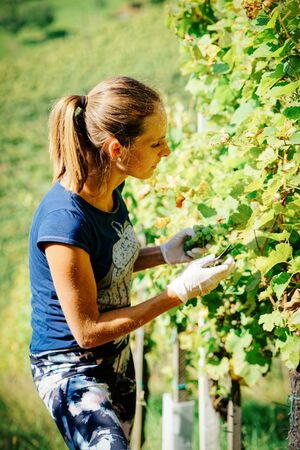 Happy young girl cutting grapes in vineyard