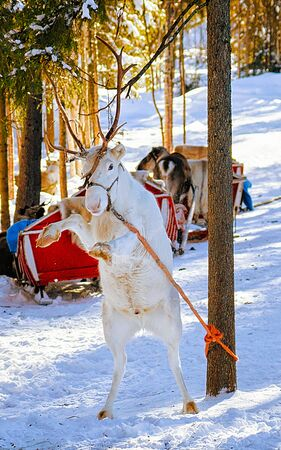 Reindeer sleigh in Finland in Rovaniemi at Lapland farm. Christmas sledge at winter sled ride safari with snow Finnish Arctic north pole. Fun with Norway Saami animals.
