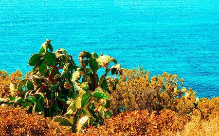 Cactus plant in Villasimius Mediterranean Sea in Sardinia Island Italy reflex